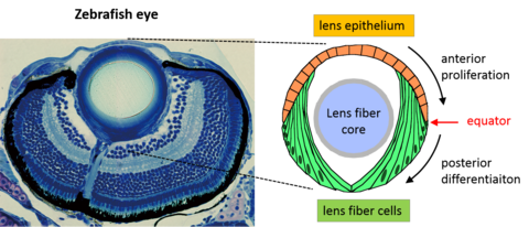 Diagram of the zebrafish eye. Left: photograph of the zebrafish eye under a microscope, with the anterior region situated at the top of the photograph and the posterior region at the bottom. Right: diagram of the zebrafish eye lens depicting where the lens epithelial and fiber cells are relative to the rest of the eye.