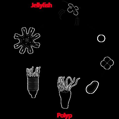 Life cycle of moon jellyfish