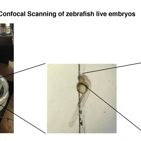 Live zebrafish embryos were immobilized under a confocal microscope so that their eye development could be tracked in real time. The lens of the eye contained bioengineered cells that would express proteins that produced a color visible under the microscope.